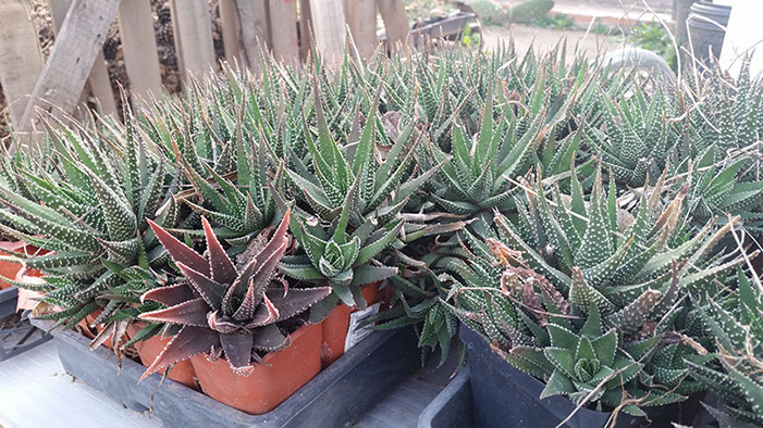 In the greenhouse, we have many aloe vera plants.
